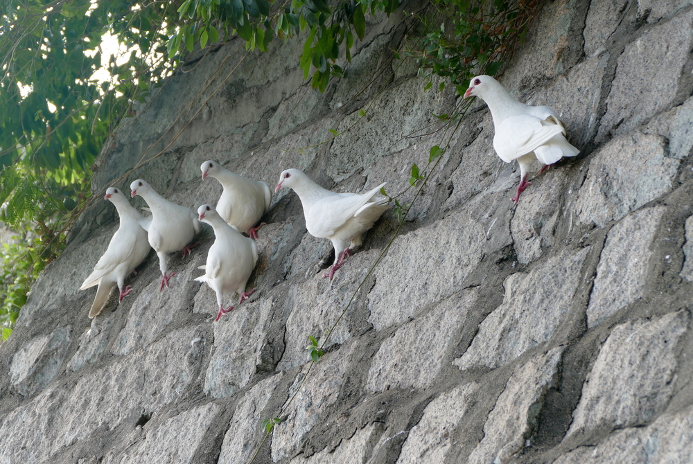 Six matching all white pigeons perching on the side of a steeply slanted stone wall