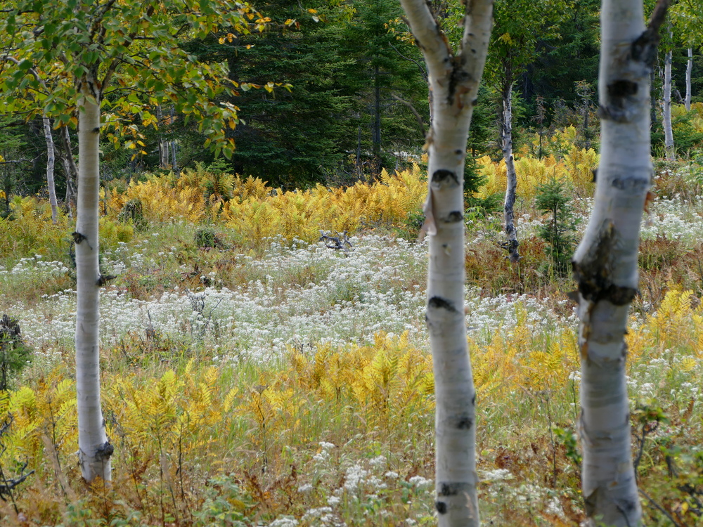 a yellow and white field seen through birch trees