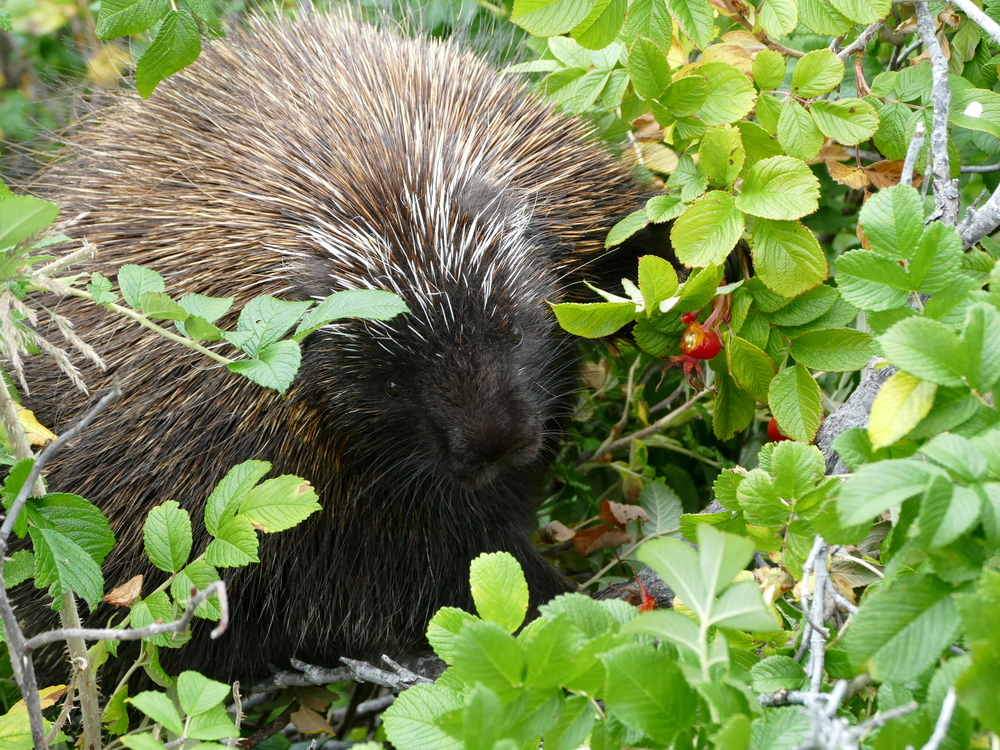 a porcupine in a rose bush