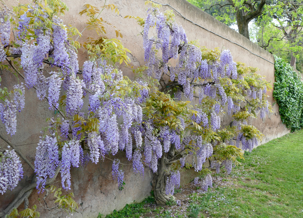 wisteria in bloom covers a large portion of a wall