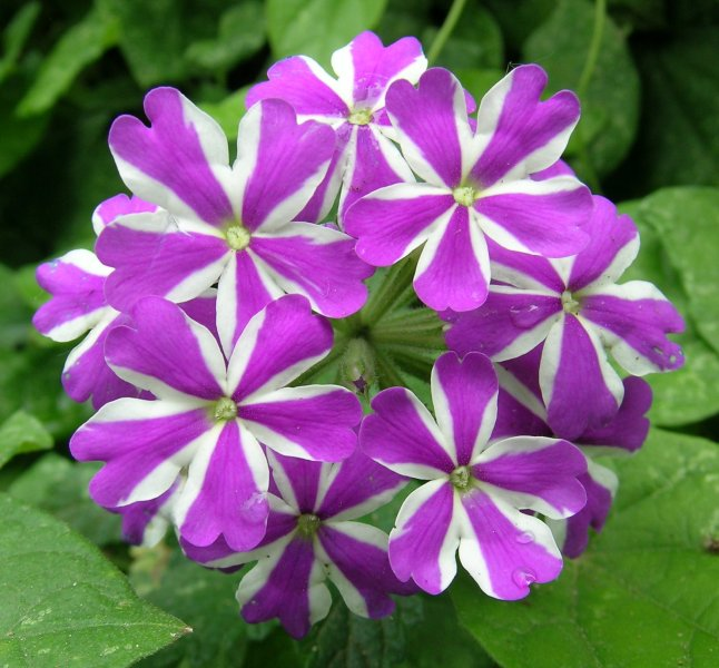 Purple and white flowers on a green background of leaves.