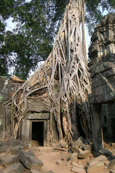Temple door under the roots of a tree